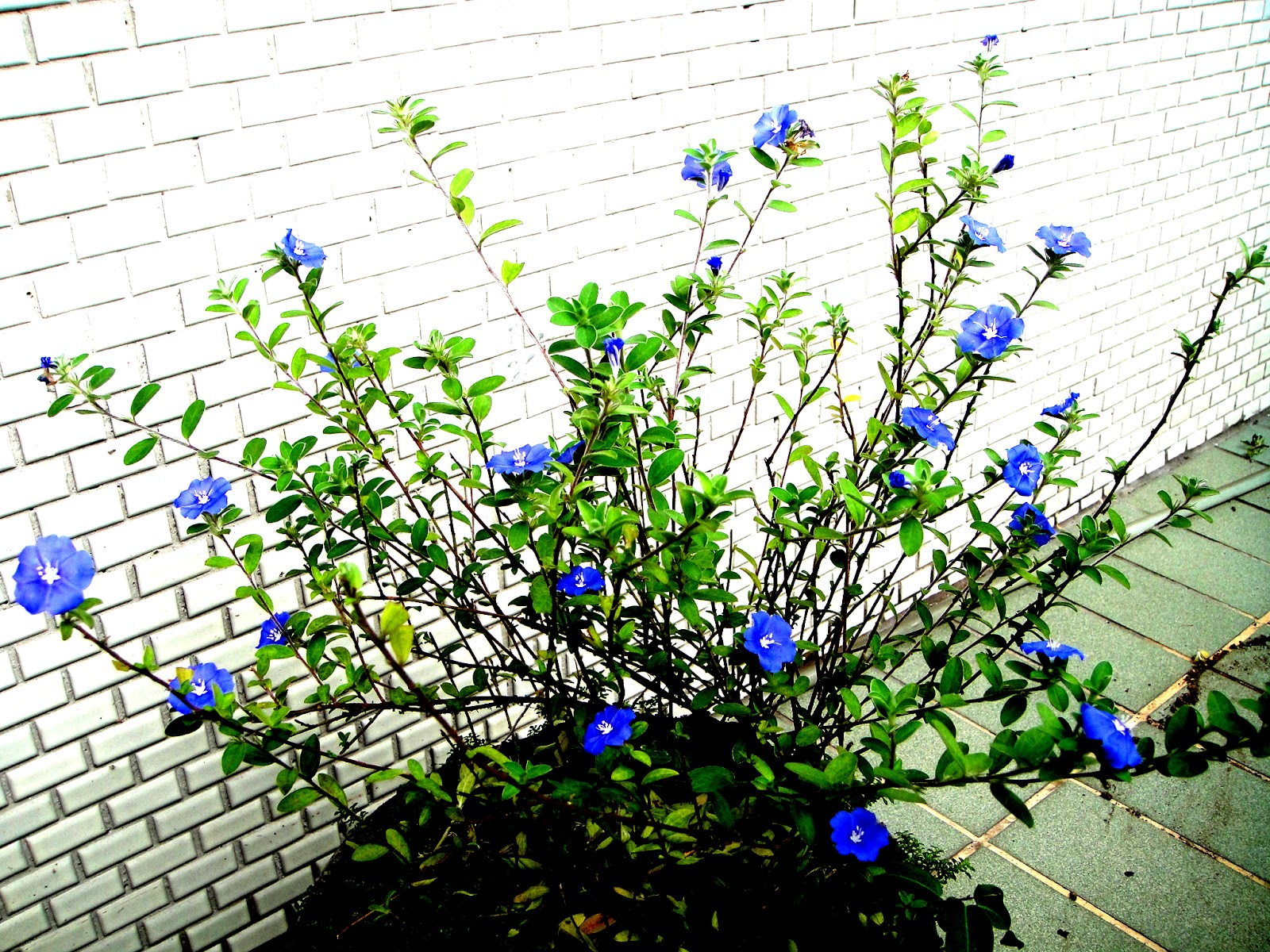 DWAN雲之端: 藍星花--Blue Daze--Hawaiian blue Eyes--好種,似傘狀的小藍花, 是旋花科多年生木本植物 。 有太陽的日子,花冠藍色,在冬季要注意保溫。冬天要減少澆水次數,土壤要疏鬆肥沃,愛開花--藍星花語:把握現在--想種花者的首選--藍星花開啟 ...