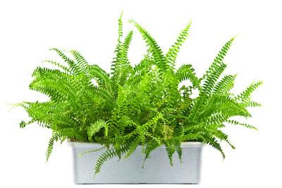 Plantas ornamentales de sombra