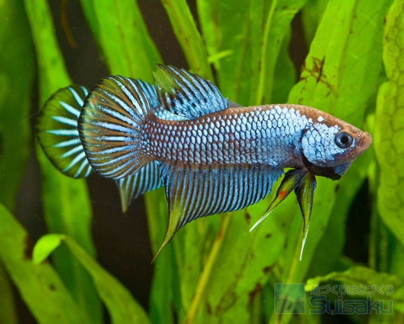 2 Image What Live Plants Are Safe for Betta Fish