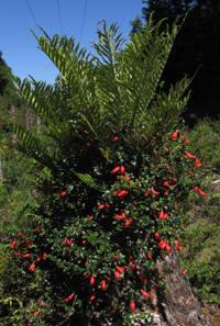 Botellita Mitraria coccinea