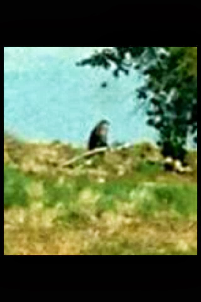 Bigfoot Evidence The Brenda Harris Bigfoot Photograph Updated