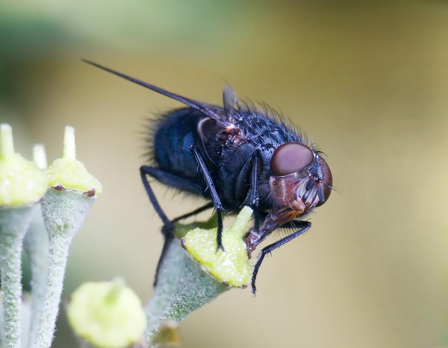 Insects: Calliphora vomitoria edit
