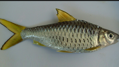 19 Umpan Ampuh Mancing Ikan Wader