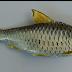 Lihat 19  Ikan Wader Ampuh Ganas Banget