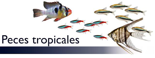 http://www.acuarioamazonic.com/2017/08/peces-tropicales.html