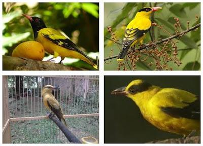 Foto Burung Kepodang Jantan dan Betina Cara Membedakan Suara Kicauan