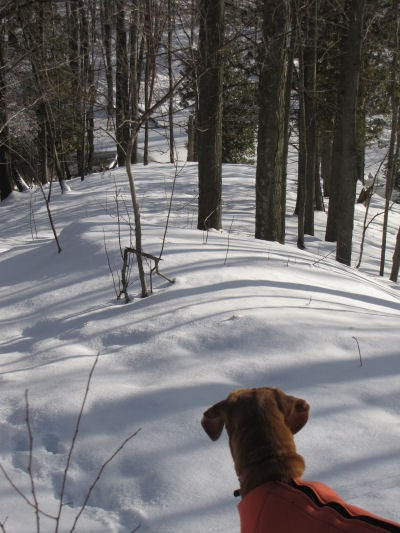 dog gazing down a slope