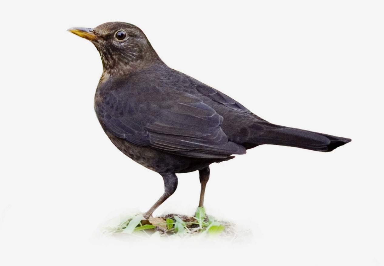 größter afrikanischer singvogel