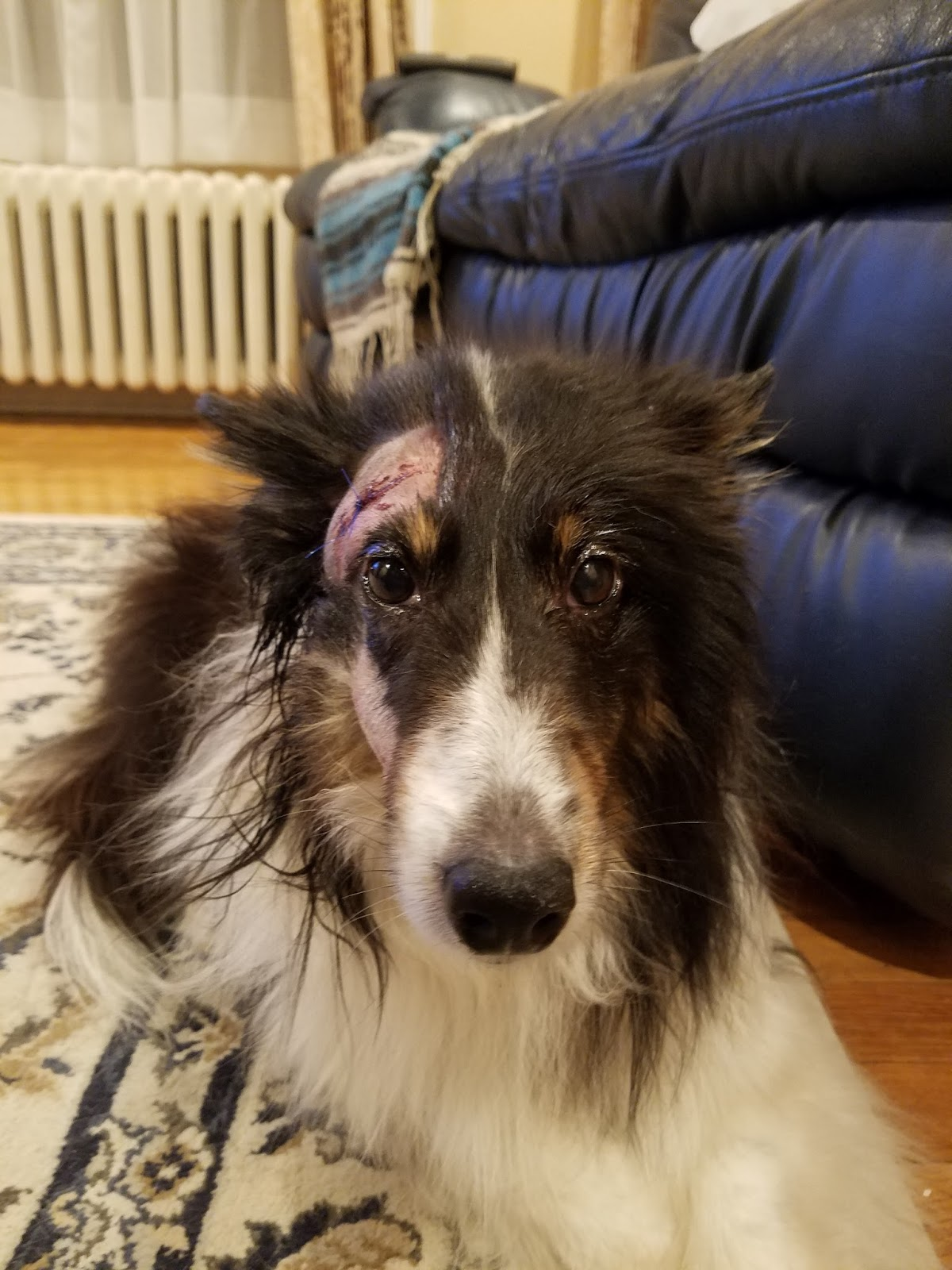 Effectiveness of Reiki For Wounds on a Dog