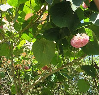 Un nuovo, rarissimo, arbusto