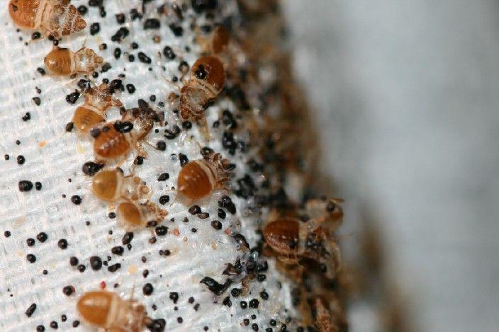 A bed bug infestation