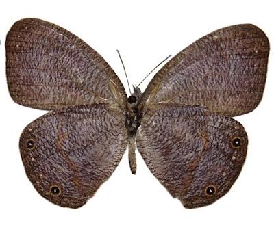 Espécie rara de borboleta é registrada pela primeira vez no Estado de São Paulo
