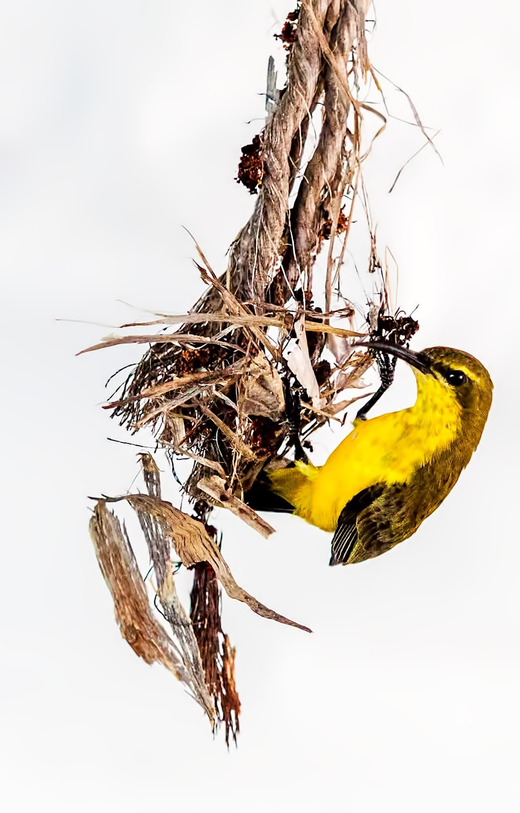 Picture of a sunbird building it's nest.