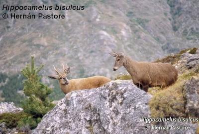 Huemul Hippocamelus bisulcus