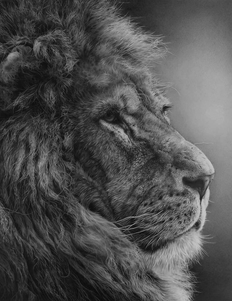 03-The-Mane-Man-Lion-Julie-Rhodes-Wildlife-Animals-Realistic-Pencil-Drawings-www-designstack-co