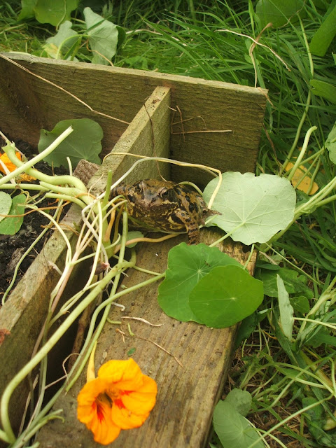 large frog sat by raised bed on our allotment