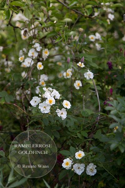 Rosen für den Garten - Rambler für Bäume, Pflanzen Garten, Ramblerrose Goldfinch, Bepflanzung Garten, Garten, planen, anlegen, bepflanzen, pflegen