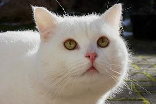 Mata kucing berkedip lambat di tatapan anda