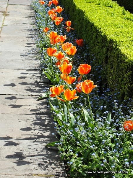orange tulips in a row at Filoli in Woodside, California