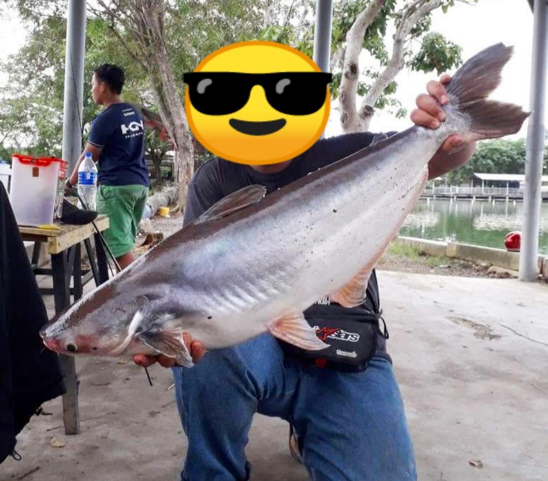 15 Resep Umpan Ikan Patin Terbukti Ampuh Dilengkapi Video Hobinatang
