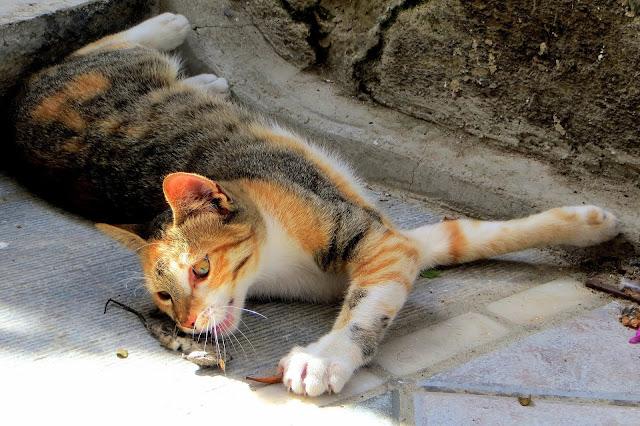 toxoplasma e gatti