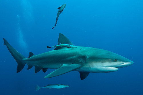 relationship between remora and great white shark