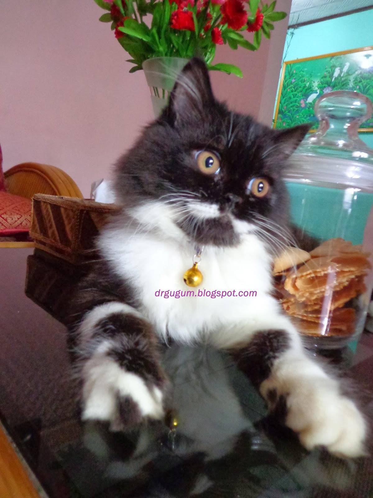 Klasifikasi Kucing Saung Kang Gugum