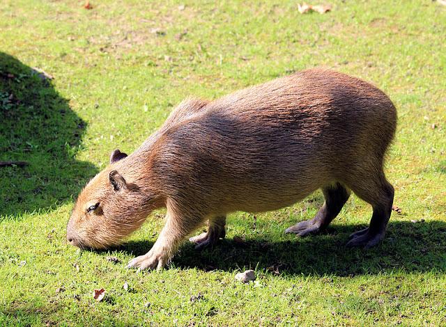 Information about an animal Capybara