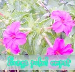 Cara Mengatasi Radang Prostat Dengan Menggunakanan  Bunga Pukul Empat