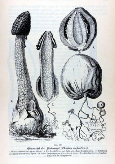Anthurus d'Archer - Phallus impudicus