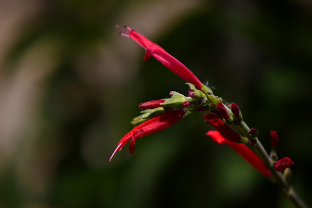 Salvia elegans, pineapple sage