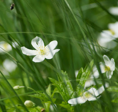 Canada Anemone (Anemone canadensis)