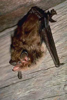 big brown bat Eptesicus fuscus