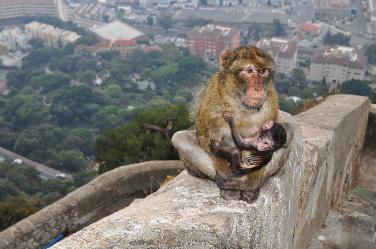 The Rock of Gibraltar is home to some pesky rascals—Barbary macaques. Photo: Andrew Tijou.