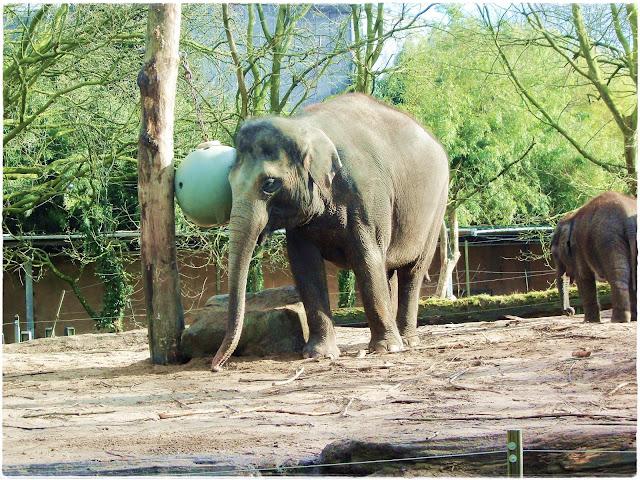 Elefante brincando no zoo de Rotterdam. novocaroneiro.com