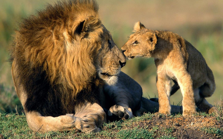 Beautiful Animals Safaris Safari Amazing Beautiful: Lion Father And Son Quotes. QuotesGram