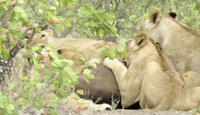 Singa makan anak kerbau liar.