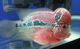 Merawat Ikan Louhan Yang Stress Balebete Baunajuku