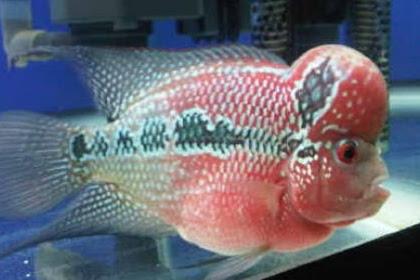 Ciri Ciri Dan Cara Merawat Ikan Louhan Stress