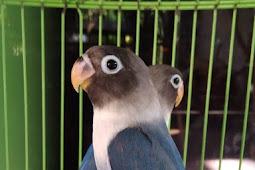 Prediksi ciri-ciri lovebird jantan umur 3 bulan