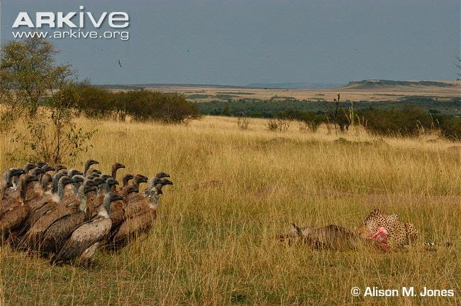 white backed vulture Gyps africanus
