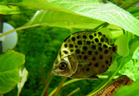 Ini Dia Ikan Hias Ruby Scat yang Cantik Serta Mudah Pemeliharaannya
