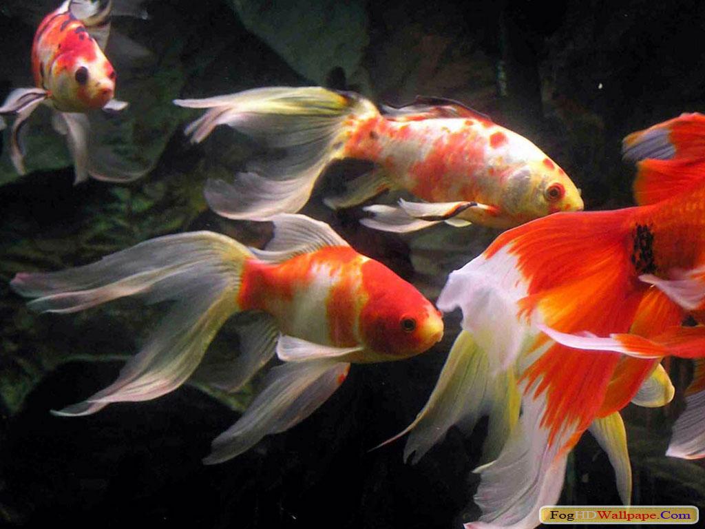 4k hd amazing goldfish - photo #40