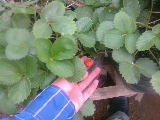 Tanaman Strawberry dalam Perawatan