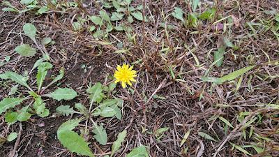 狂い咲きの西洋タンポポ