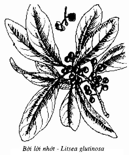 Hình vẽ Bời Lời Nhớt - Litsea glutinosa - Nguyên liệu làm thuốc Đắp vết thương Rắn Rết cắn