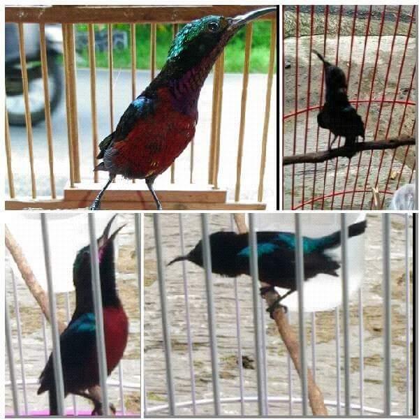 Tips Memilih Kolibri Ninja Konin Ombyokan Tips Dan Bisnis Seputar Burung