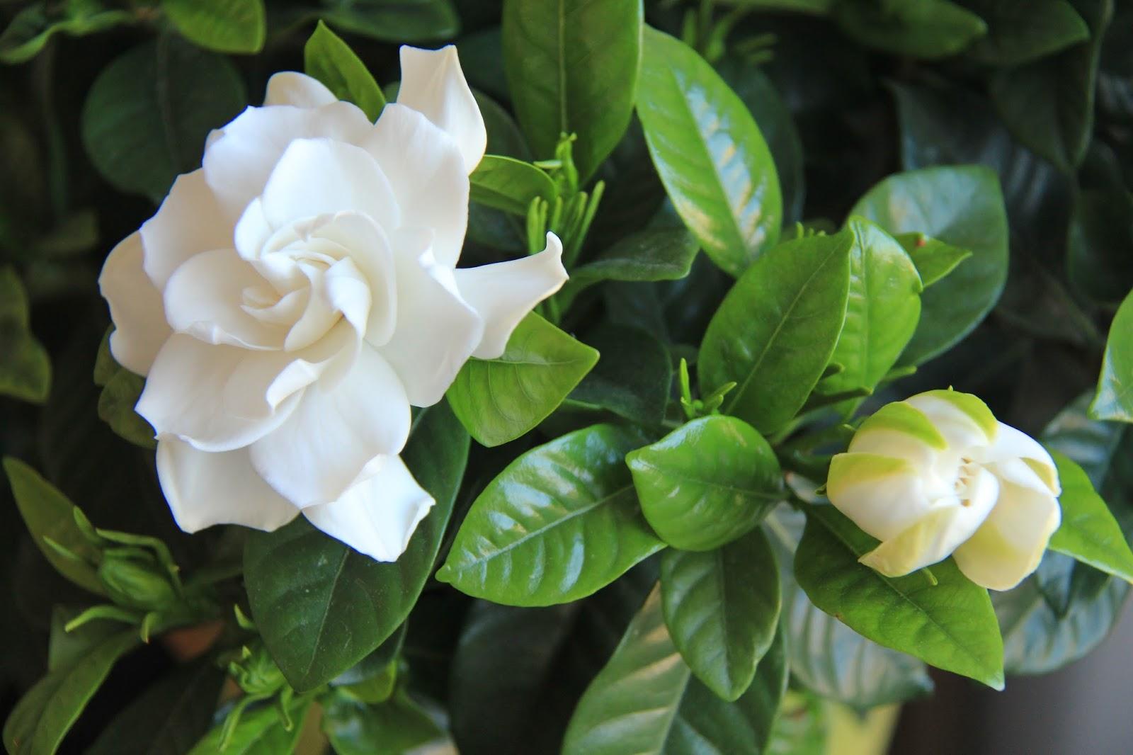 flower power gardenia jasminoides. Black Bedroom Furniture Sets. Home Design Ideas