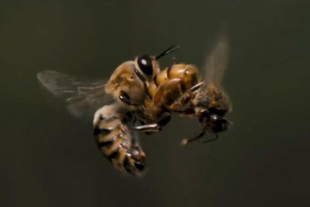 Νίκος Μητσιώτης: Δεν γίνεται γενετική βελτίωση μελισσών χωρίς να ληφθεί υπόψιν και ο παράγοντας κηφήνας