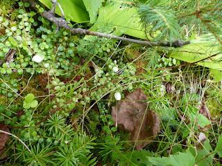 Gaulthérie hispide - Gaultheria hispidula - Petit thé